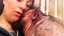 Elle chante pour reconforter son cochon