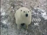 Polar Bear Begging for Food, Churchill, Manitoba, Canada