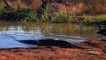 Piton Yılanı Antilobu Yiyor