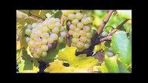 ¿Qué diferencia a un vino tinto, de uno blanco o rosado? - Campo Viejo