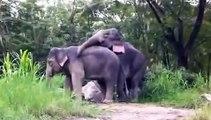 تزاوج الفيلة مشهد فريد جدا جدا