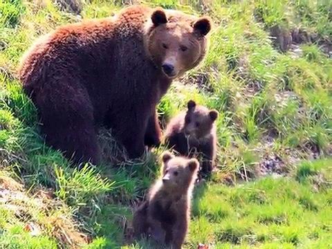 Bärenpark Bern, Urs & Berna spielen, Björk, Finn April 2010; Cute Bear Cubs in Bern