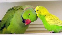Beautiful Yellow Indian Ringneck Parakeet - video dailymotion