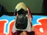 Parrot Beak Trim by Dr. G. (African Grey Parrot)