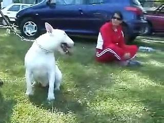competicion bull terrier