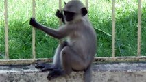 Funny Little Monkies Are Jumping In Door and Mother Monkies are Sitting