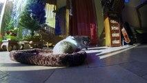 Chien Spitz Nain et Lapin Nain - Noël 2013 - GoPro HD