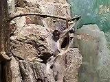 ケナガクモザルの失敗(サルも木から落ちる)