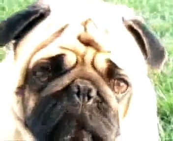 My Sad Lonely Pug
