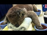 Koalas with burned paws from Australia bushfires need cotton mittens to heal