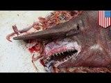 Goblin Shark, nahuli ng mga mangingisda sa Florida!