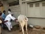 Cow qurbani running of dangerous cow kick funny video fun