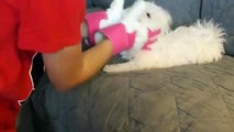 Cute Maltese puppy dog barking and playing with glove things Plainfield puppies funny videos