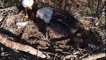 Berry College Eagles  January14, 2014 Mom lays first egg while dad watches