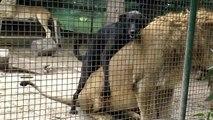 Chien en manque de sexe dans la cage aux lions d'un zoo