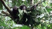 Bonobos - chimpanzees' gentle cousins