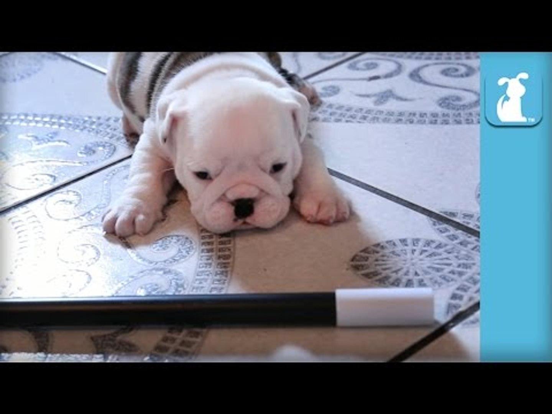Wrinkly Bulldog Puppy Does MAGIC! SO DARN CUTE! - Puppy Love