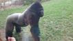 Un gorille charge des humains dans un zoo