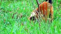 Red Ruffed Lemurs in Opole Zoo Lemur Wari Rudy w Zoo Opole