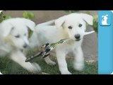 Medieval Shepherd Puppies Want to Battle - Puppy Love