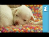 14 Day Old Puppies Fall Asleep on a Blanket - Puppy Love