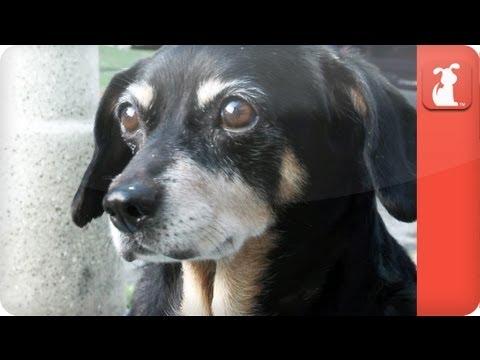 Unadoptables – Cute Dachshund living in veterinary hospital seeks Forever Home