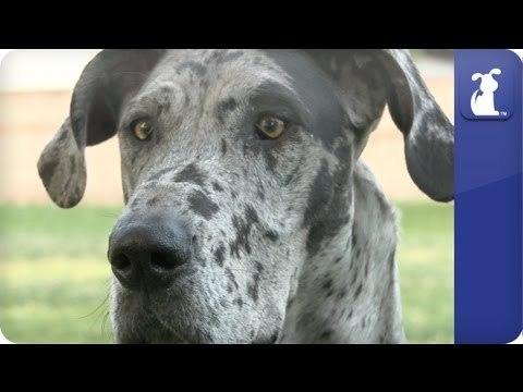 Doglopedia - Great Dane