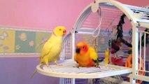 Sun conure & Indian Ringneck parrots dancing