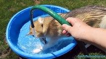 Siberian Husky Dog ATTACK Water Hose - Crazy Dog Attack Dog vs. Water