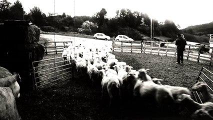 Les moutons de Pierrevert
