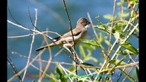 Голоса птиц - Серая славка (лат. Sylvia communis)