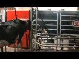 La traite des vaches avec leur robot lely