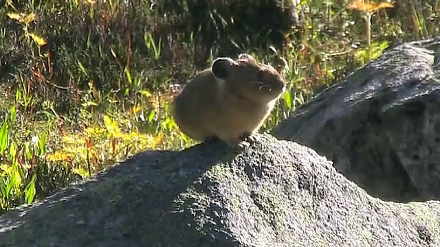 American Pikas Calling Out ~ Cute Animals in Nature