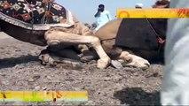 مصارعة جمال عنيفة جداً   Camel wrestling