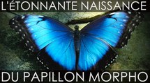 L'étonnante naissance du papillon Morpho