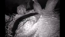 Decorah Eagles  6-14-14  Owl Attacks Eaglets On Nest