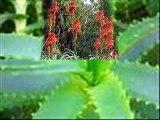 L ' ALOE VERA... Una pianta MIRACOLOSA .( RICETTA PER LA PREPARAZIONE )
