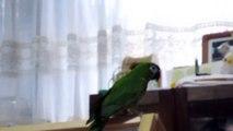 どこへ行きたいの? -コミドリコンゴウインコ / Red Shouldered Macaw / Ara-