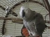 THE African Grey! Ruby, The swearing parrot. X Rated Parrot  37.