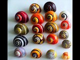 POLYMITA:  World's Most Beautiful Land Snail (Baracoa, Cuba)