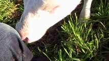Mattis auf Hof Butenland - sweetest calf on earth