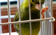 CANARY SINGING BEST VIDEO TO TRAINING CANARIES  BIRDS