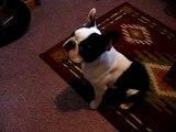 CUTE Boston Terrier puppy says MAMA ~ my dog TALKS! (Original)