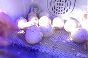 Two Chicken Eggs Hatch