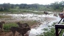 Cheetahs In The Wild: Cheetahs Running At Full Speed: Cheetahs Hunting Prey