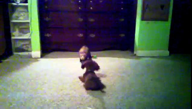 Ferret versus mini dachshund puppy fight play funny wiener dog