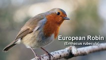 Robin European Robin Bird Call