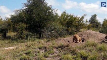 Comment échapper à des lions affamés