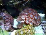 White Pulsing Xenia (Coral & Invertebrate: Xenia)