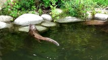 Otters playing in the water in Opole Zoo Wydry bawiące się w wodzie w Zoo Opole